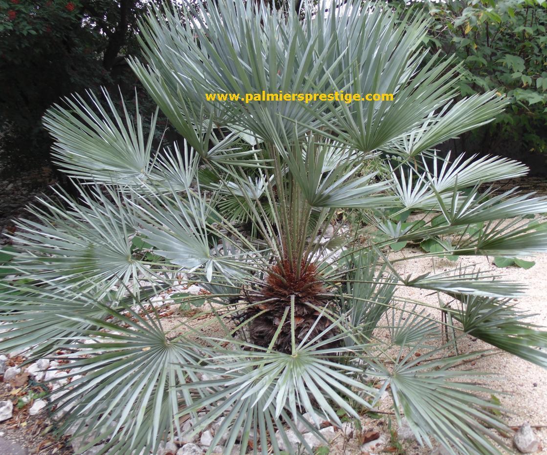 Palmiers prestige vente de palmiers et cocotiers d for Palmier nain exterieur