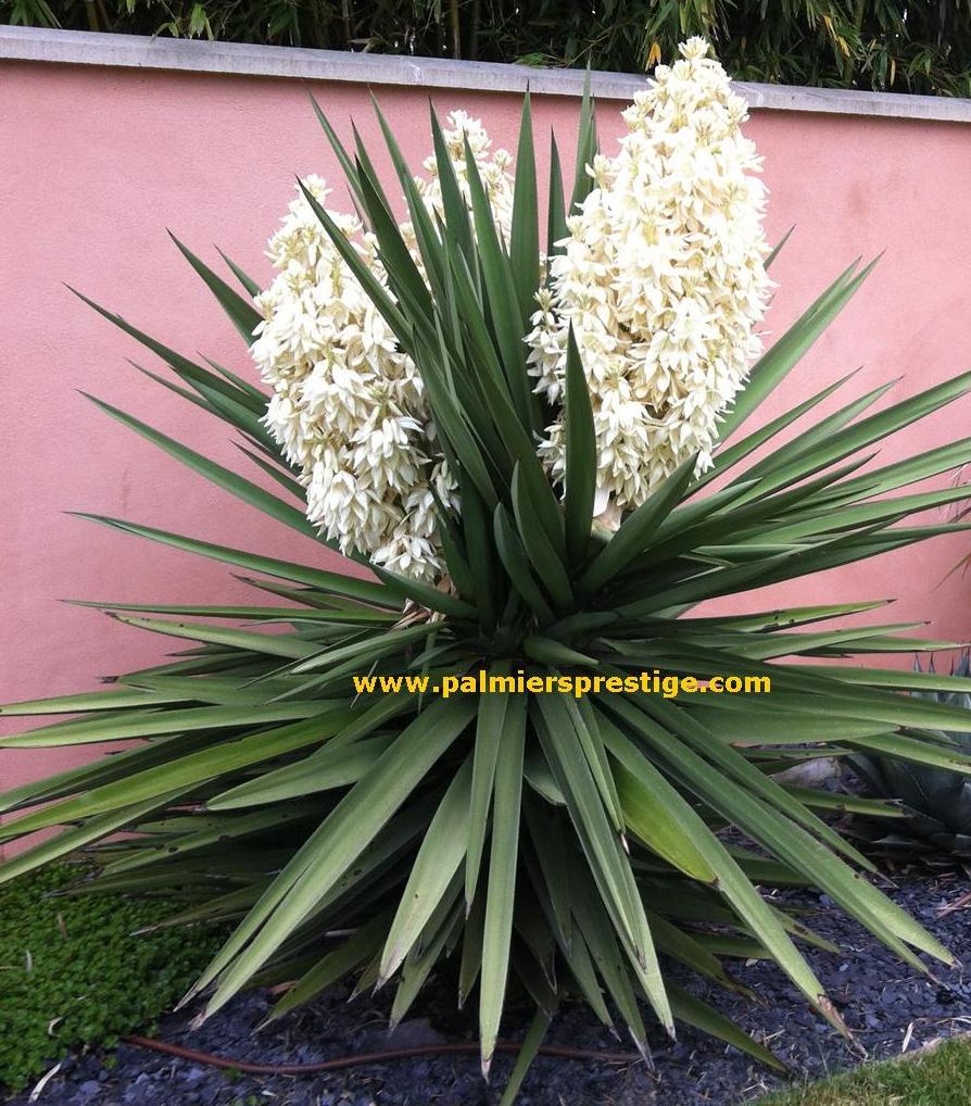 Palmiers Prestige Vente De Palmiers Et Cocotiers D