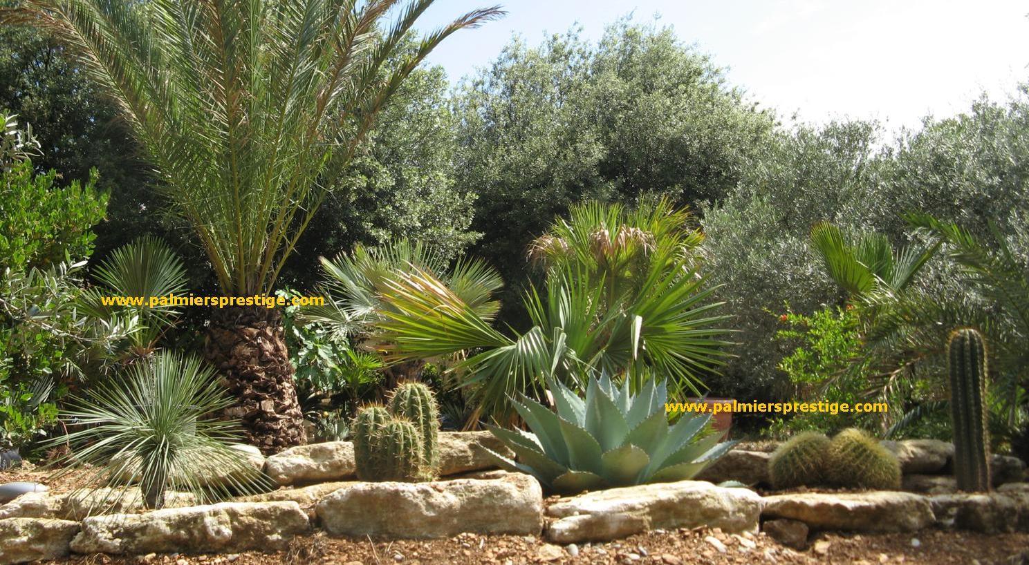 Palmiers prestige vente de palmiers et cocotiers d for Plantes et arbustes de jardin